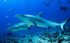 Beqa Shark Dive with Aqua-Trek - 13 Dec 2014