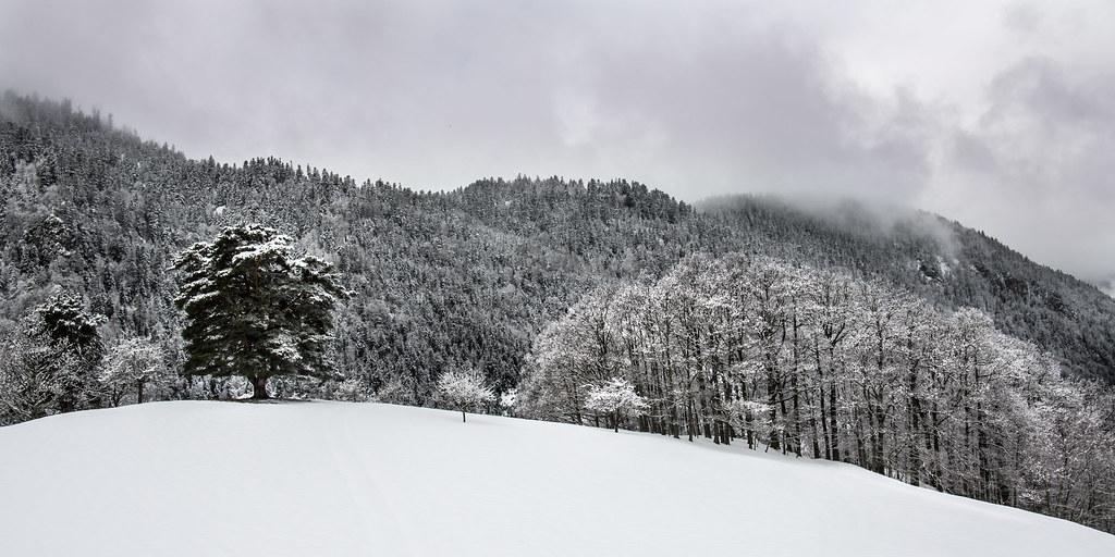 Panorama du pin sylvestre