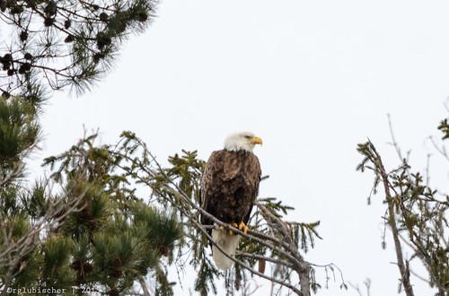 Eagle Spotting - XXXVIII