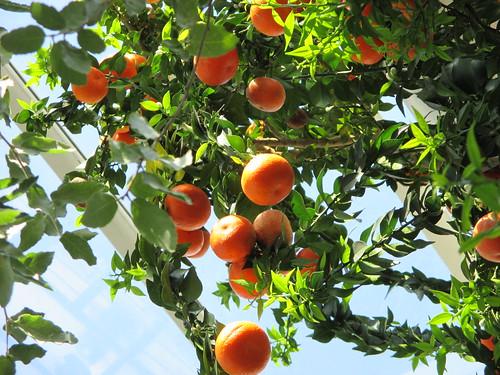 Myrtle-leaf Sour Orange