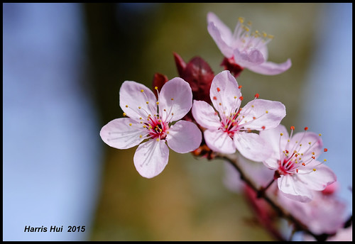 Cherry Blossoms Coming To Town - Rallway Avenue XT1938e