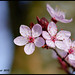 Cherry Blossoms Coming To Town - Rallway Avenue XT1938e by Harris Hui (in search of light)