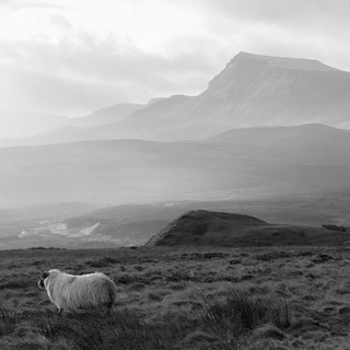 Scottish sheep, Isle of Skye, Scotland
