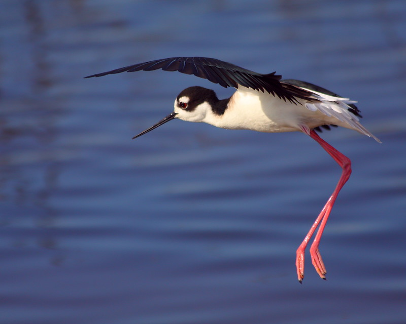 IMG_5808 Black-Necked Stilt