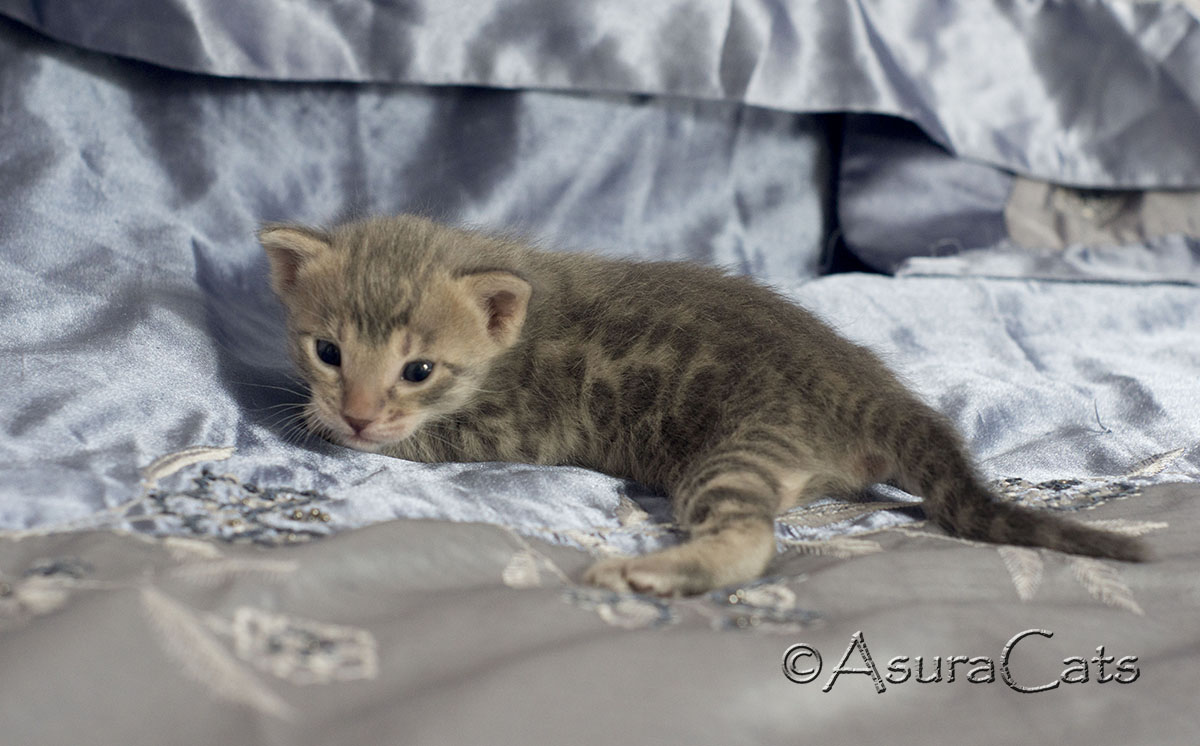 Blue spotted/rosetted Bengal kitten
