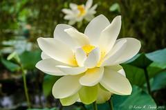 A visit to Blue Lotus Water Gardens