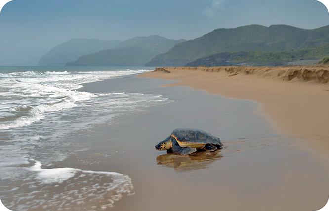 La tortuga boba vuelve a anidar en las playas de Calblanque