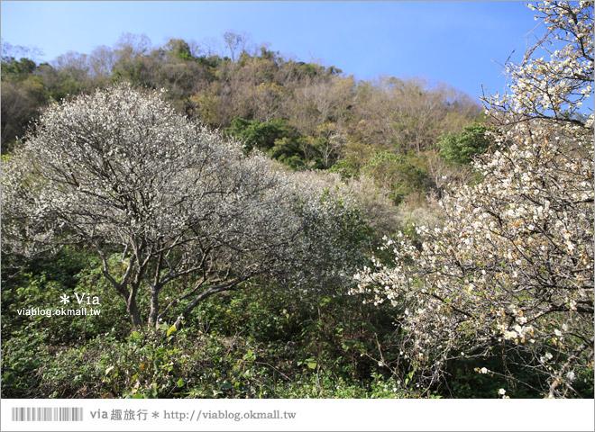 【南投梅花秘境】仁愛鄉「西伯梅園」~和互助國小梅園來個賞梅一日遊11