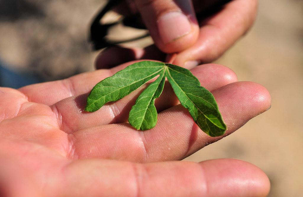 Proper management of cassava is key to avoid nutrient defi