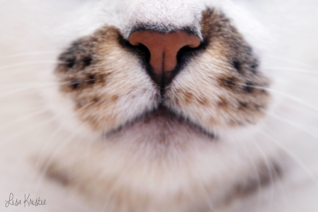 cat nose mouth closeup funny cute fur pattern colors julesthecat whiskers