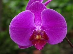 Phalaenopsis Hollywood