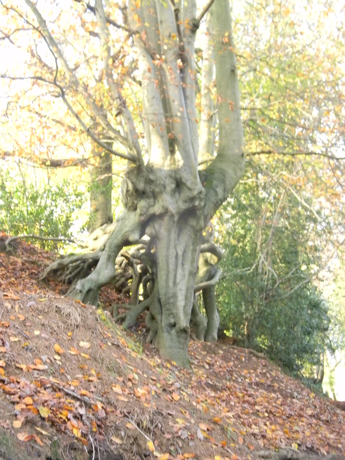 Walking tree Leigh to Sevenoaks