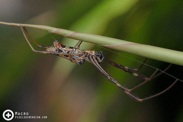 Batik Golden Web Spider- Nephila antipodiana juv ♀