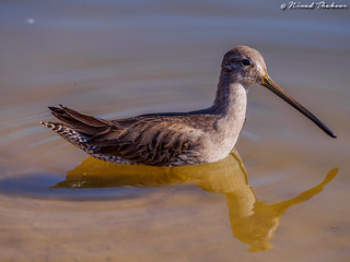 Long-billed Dowitcher (UCR #165)