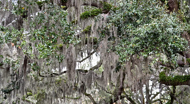moss covered oak tree in savannah
