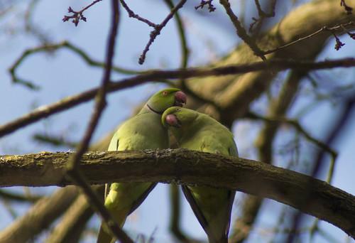 Parrots in Bushy Park