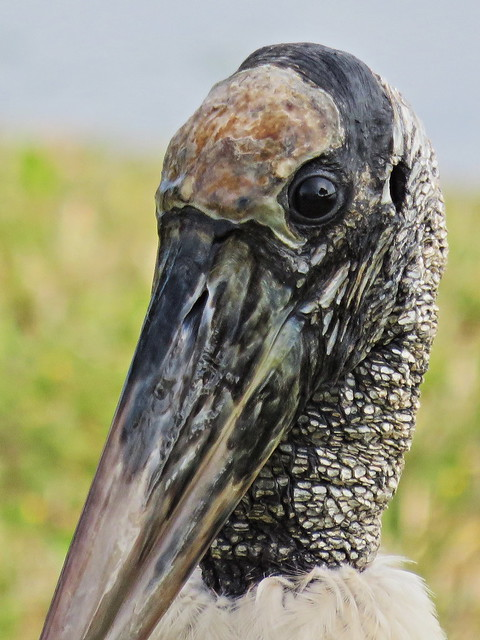 Wood Stork portrait 20141221