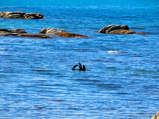New Zealand fur seal in Kaikoura