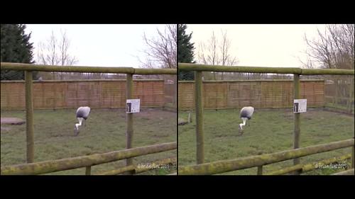 Crane dancing and Monkeys howling - 3d crossview