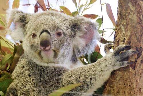 Female Koala, Waka of Kanazawa Zoo : コアラのワカ♀