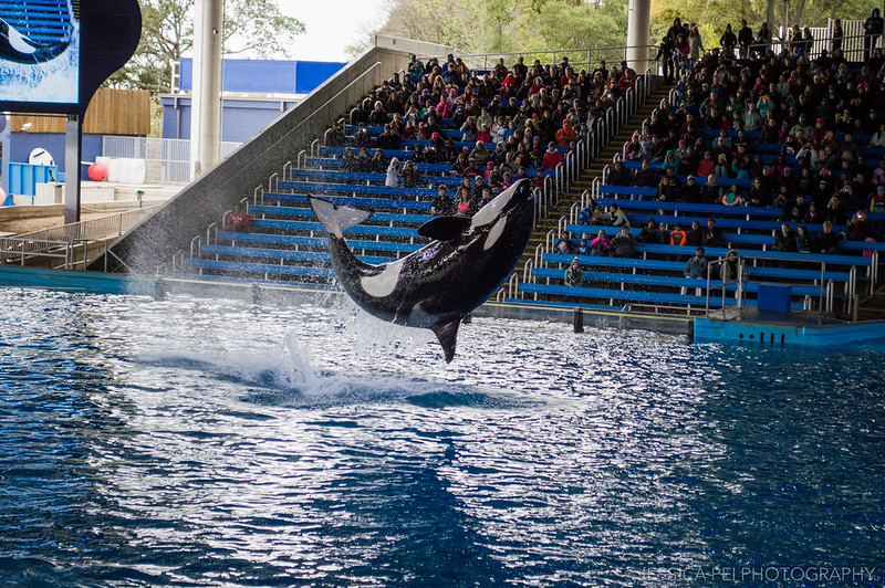 Shamu Killer Whale Show Sea World San Antonio