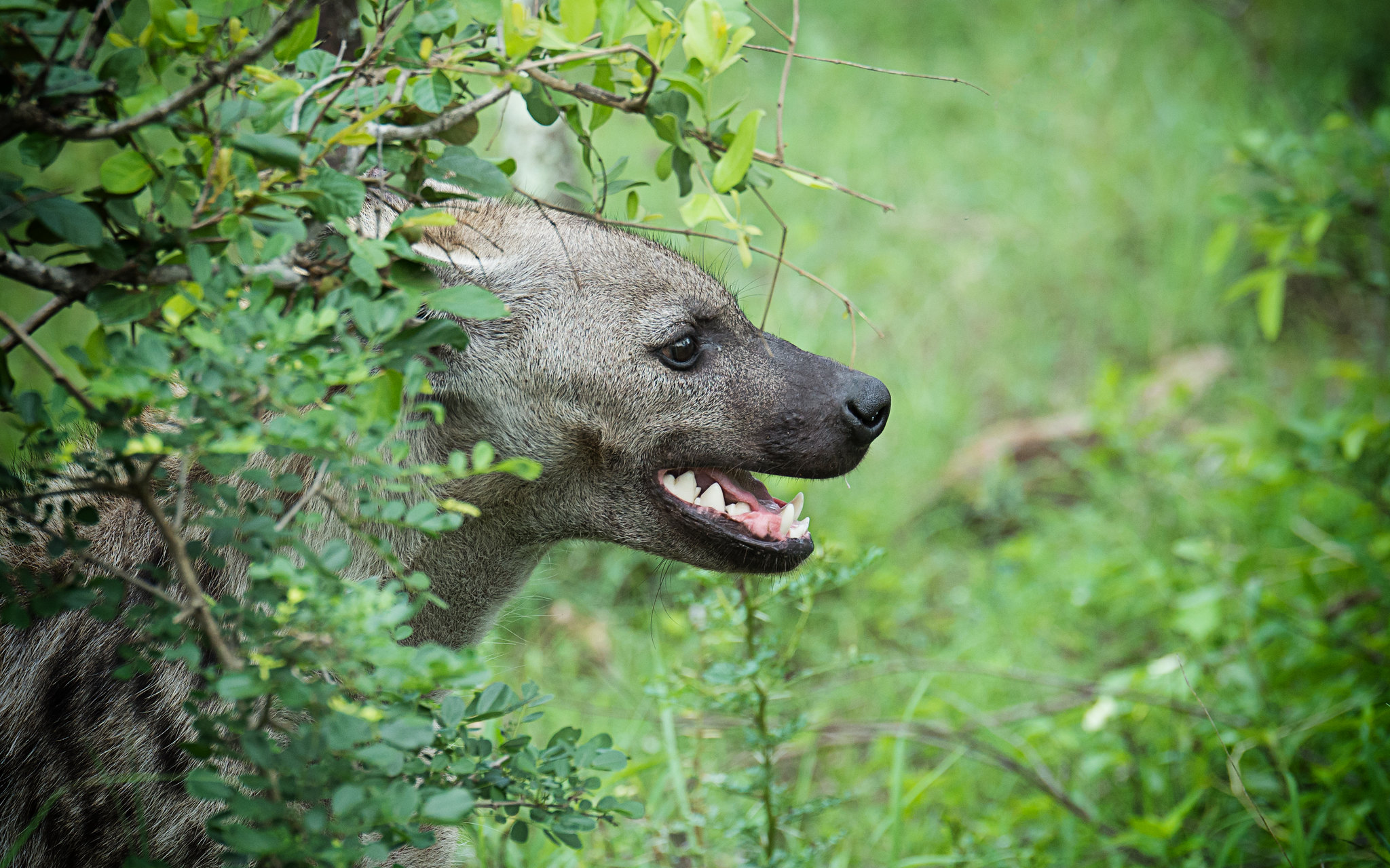 Kruger Hyena