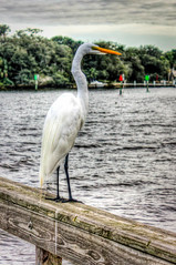 Great Egret (2 of 4)