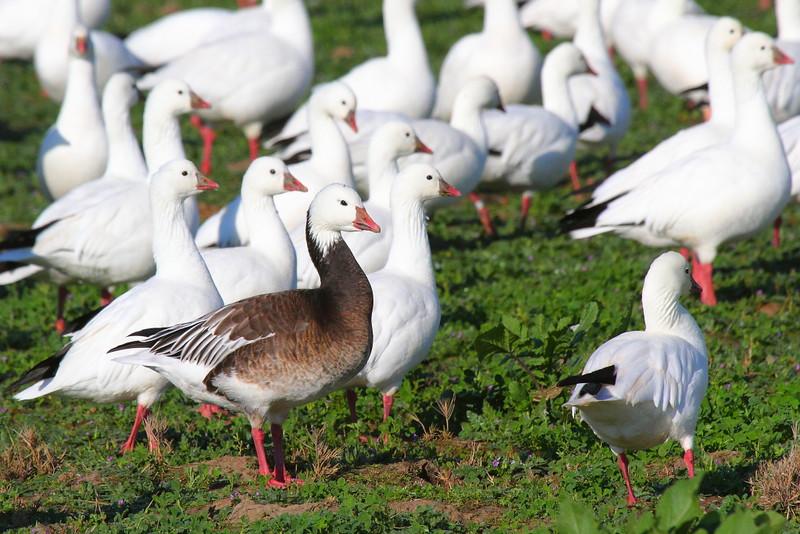 IMG_3827 Blue Morph Ross's Goose