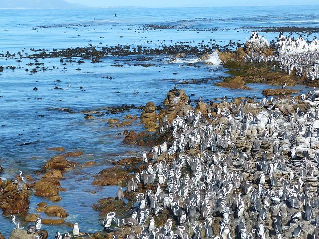 Colonia de pingüinos de Stony Point (Sudáfrica)