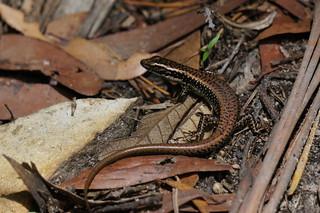 Coppery lizard