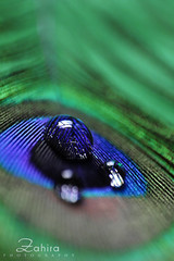 A drop of water on a peacock feather