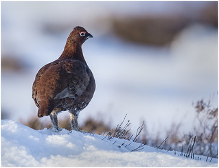 MALE GROUSE PORTRAIT