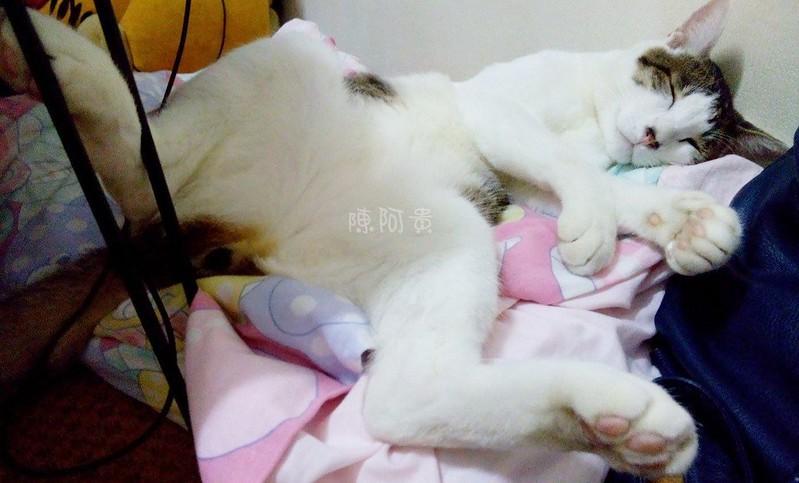 阿貴貓咪  貓咪睡姿