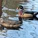 Ma and Pa Wood Duck by joybidge