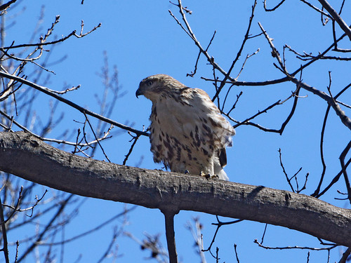 Great Hill Juvie Hawk #2 - 7240