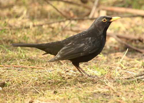 Blackbird 3473