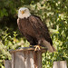 American Bald Eagle by gerilynns