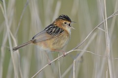 Golden - headed  Cisticola