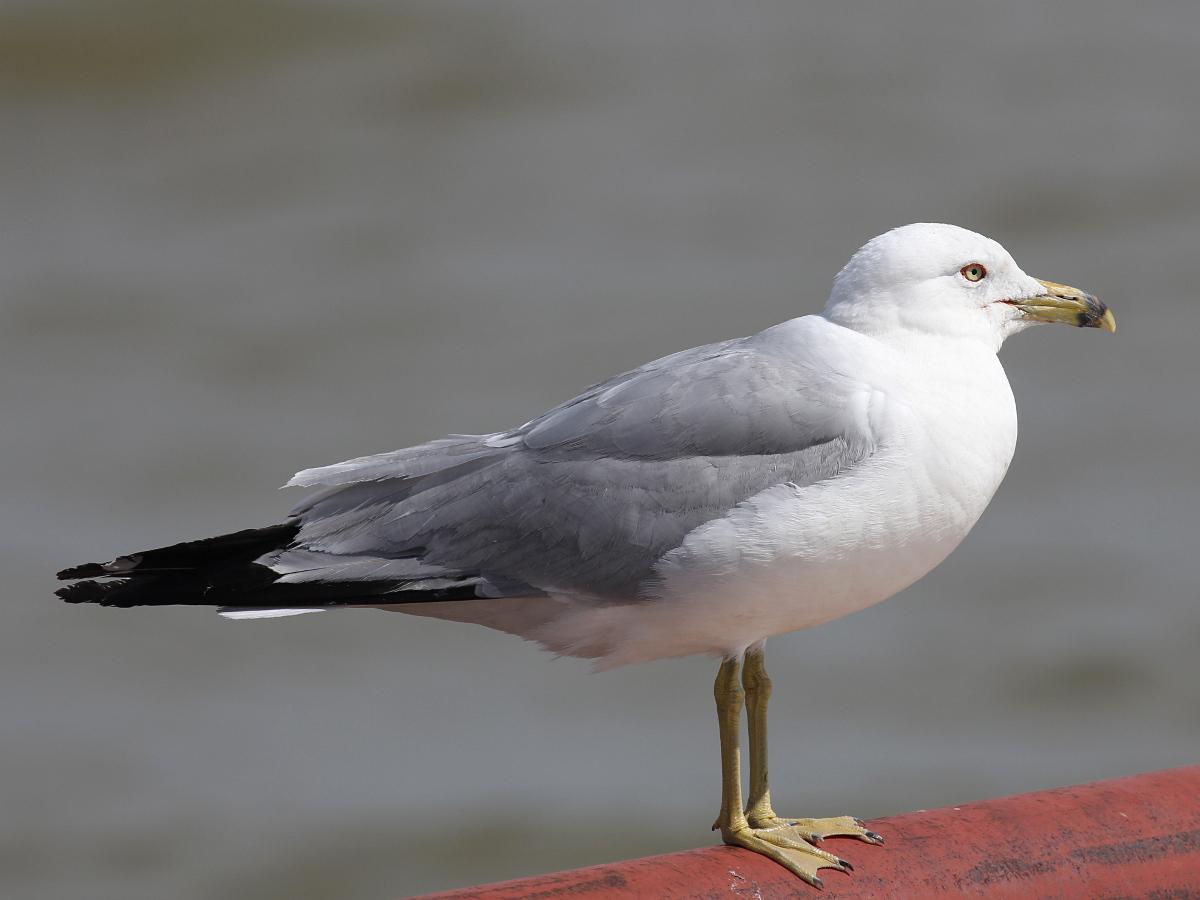 Фотография 'Делавэрская чайка'