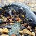 Tiger Salamander by U.S. Fish and Wildlife Service - Midwest Region