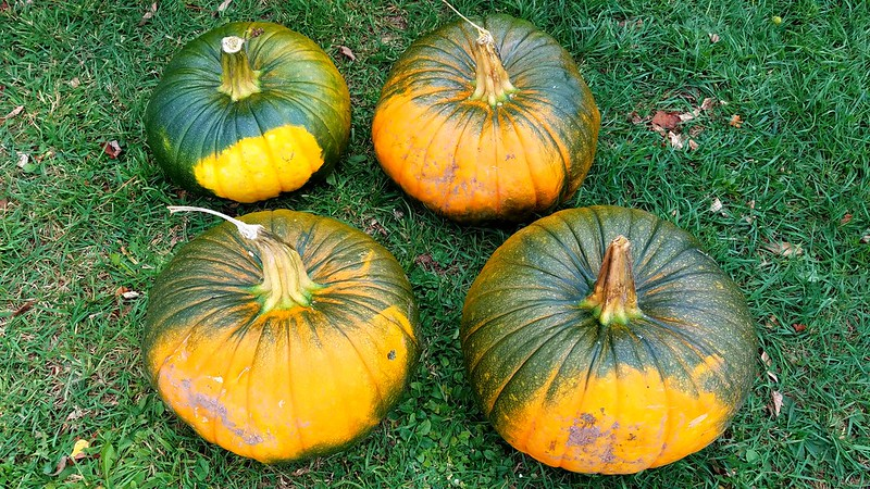 The Surprise Pumpkins That Took Over Our Garden