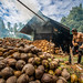 Coconut stripping in Manado rainforest by JeanLucLaval