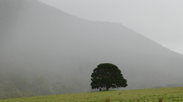 A solitary tree in the paddock, Mount Sturgeon softly veiled by light rain