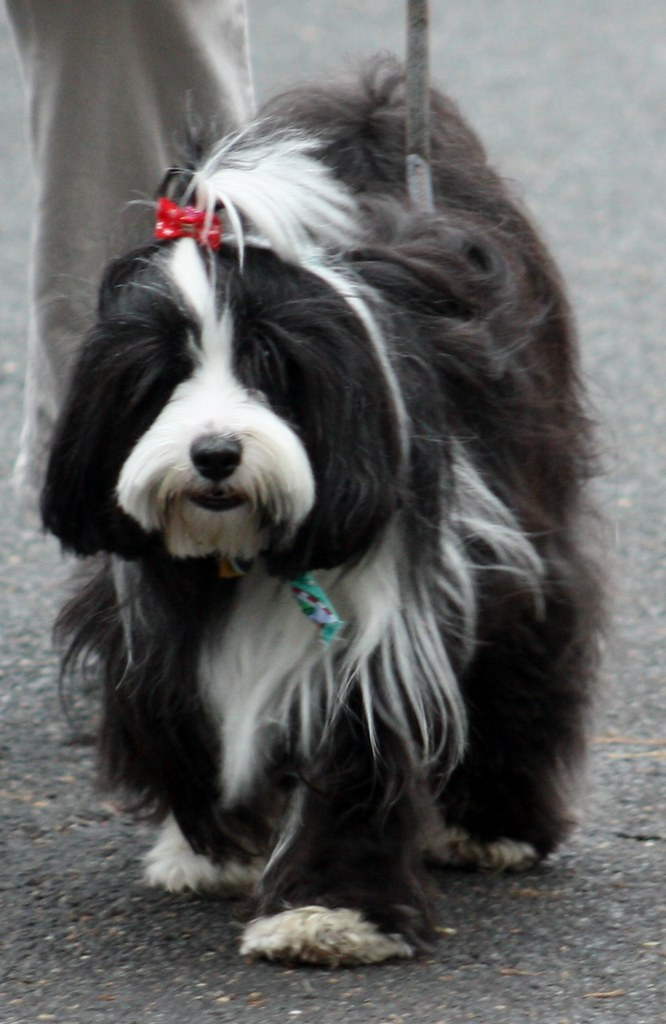 Scottish Parade dog