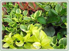 Peperomia clusiifolia 'Jellie', Peperomia obtusifolia and other cultivars