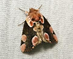 Peach Blossom Moth (Thyatira batis, Thyatirinae, Drepanidae)