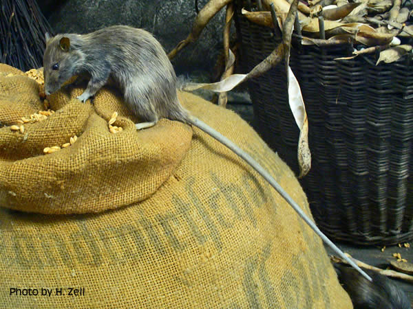 AionSur 15759497500_6a56bee3b0_o_d El invierno, época para la proliferación de ratones cerca de empresas alimentarias Medio Ambiente  Ratones empresas alimentarias