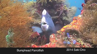 Super Strong Teeth, Bumphead Parrotfish (Tulameben, Bali)