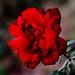 Rose.......................