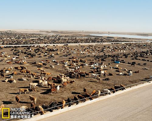 今日,中西部的玉米會經由鐵路運往德州潘漢德地區像藍格勒這樣的飼育場,有多達5萬隻牛在此以穀類餵養4至6個月,完成肥育。這個地區也種植玉米;農民為了灌溉玉米田而抽取奧加拉拉含水層的地下水。在藍格勒累積的牛糞會運給農人作為肥料;牛隻畜欄的逕流則集中流到池子裡後蒸發。飼育業對於當地經濟至關重要。「我們沒聞到臭味,」德州農工大學的經濟學者史蒂夫‧愛默生說。「我們聞到的是錢的味道。」攝影:Brian Finke;圖片提供:《國家地理》雜誌中文版2014年11月號